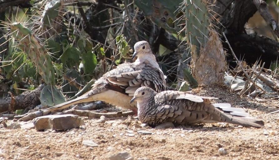 E:ARTICULOS PERIODISMO ECOLOGISTAARTICULO SAROCHE LISTOAves del Semiarido LarenseNo Passeriformes (24 familias)15. Columbidae (6 especies)b.Palomita Maraquita.jpg