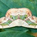 Semaeopus nisa