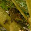 Three-striped Ground Squirrel