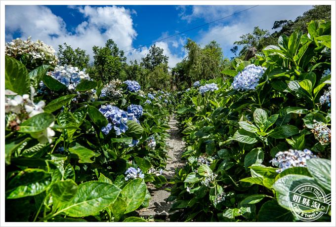 青山農場紫陽花