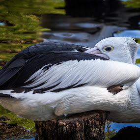 Pelican Resting by Gary Tindale - Animals Birds ( bird, waanimals, perth, zoo, hot, attraction,  )