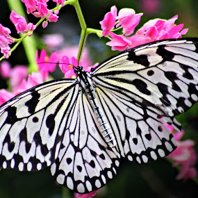 Malabar Tree Nymph by Katie McKinney - Animals Insects & Spiders ( contrast, butterfly, macro, nature, butterflies, black and white, bug, pink, flowers, insect,  )