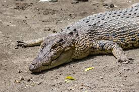 Description: Crocodylus porosus.jpg