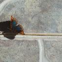 West Indian buckeye butterfly