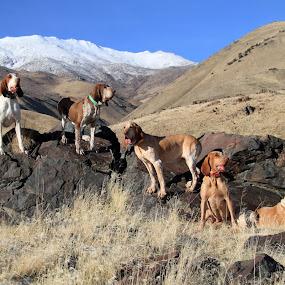 Chukar Hunting by Ralph MInnitte - Animals - Dogs Portraits
