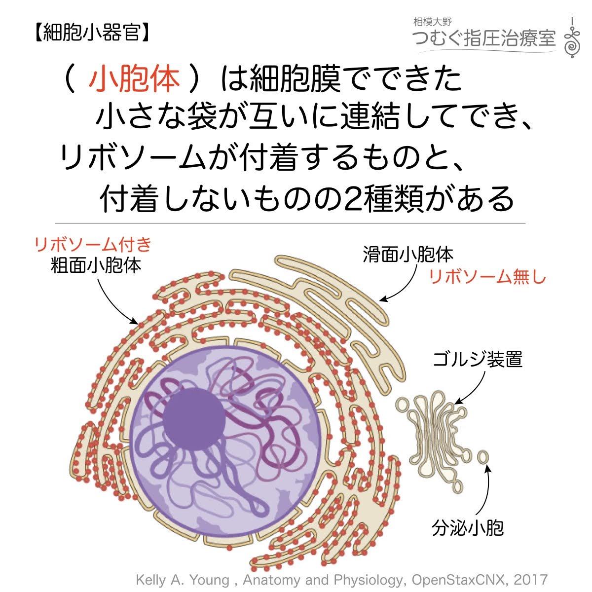 粗面小胞体と滑面小胞体