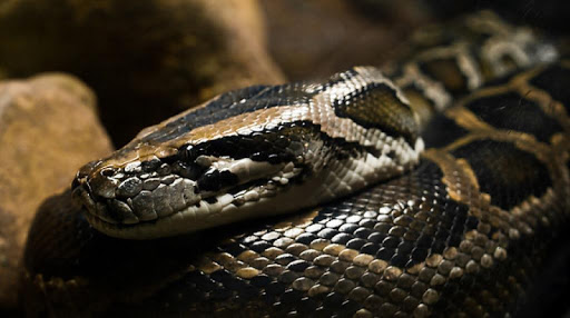 Burmese Pythons Wallpapers