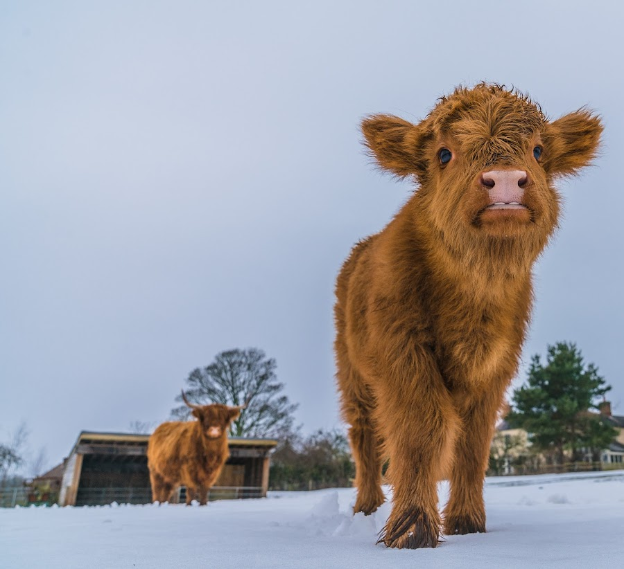 Highland Calf by Nigel Bishton - Animals Other Mammals