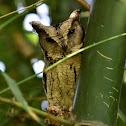 Owl  -  Indian Scops Owl