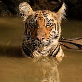 The Curious Stare by Praveen Premkumar - Animals Lions, Tigers & Big Cats ( nature, stare, tiger, big cat, wild, dare )