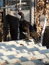 Photo: Siberian grouse
