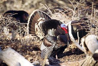 Photo: Turkey - Tejon Ranch Conservancy