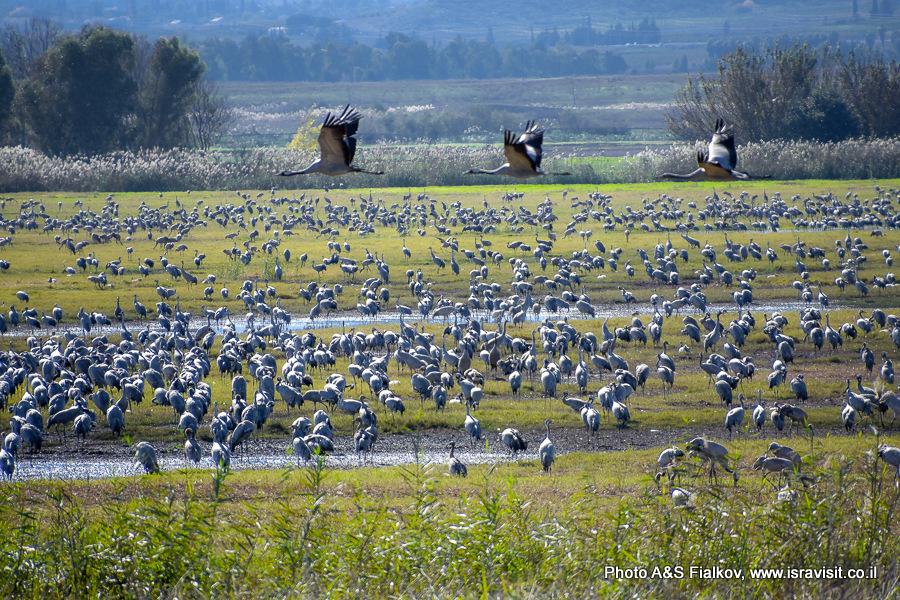 Птицы в заповеднике Хула: Серый Журавль. Израиль.