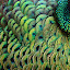 green feather by Oddy Widyantoro - Abstract Macro ( feather, macro, green, macro photography, peacock, peacock feather )