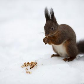 squirrel by Dominik Konjedic - Animals Other Mammals ( squirrel )
