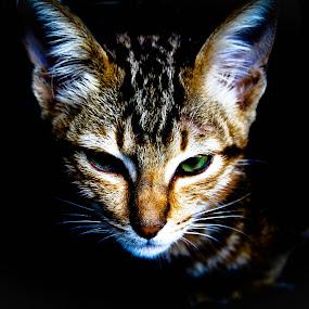 angry cat by Gilang Ariefian Gutama - Animals - Cats Kittens