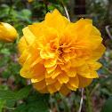 Kerria (Pleniflora)