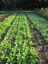 Photo: Forage radish crop and/or cover crop in market garden bed.