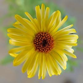 by Dee Haun - Flowers Single Flower ( 180721f3574ce1, flowers, single flower, yellow, orance center,  )