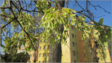 Photo: Artar American (Acer negundo) - de pe Calea Victoriei, Mr.1, spatiu verde  - 2018.04.09