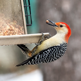 Woodpecker at the feeder by Rick Touhey - Animals Birds ( red, stripes, feeder, bird, tree, woodpecker )