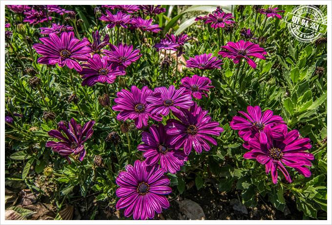 大東溼地公園陶園紫色的花