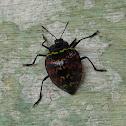 Zigzag Fungus Beetle