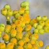 Turkish Helichrysum