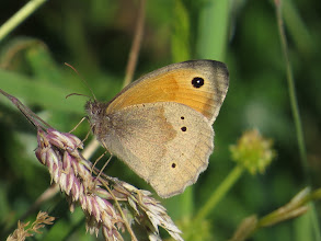 Photo: 15 Jul 13 Priorslee Lake: Meadow Brown at rest: note the dark circle on the underside of the forewing with a single white dot. Soon the slightly smaller Gatekeeper will be flying and this shows two white dots. But ... (Ed Wilson)