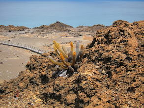 Photo: Cactus on Bartolome island