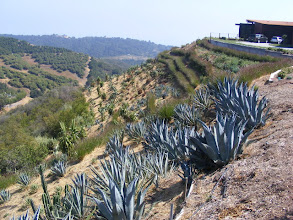 Photo: Carpinteria foothill property. Slope cleared of native vegetation for wildland fire safety, and replanted with succulent Agaves, Aloes, and other fire resistant species. Vetiver was used to stabilize several large gully repairs and path with dry laid adobe wall.