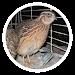 Quail breeding Icon