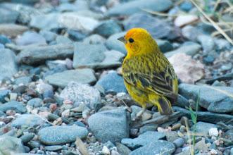 Photo: Saffron Finch (Safrangilbammer); Valle Calchaquí, ARG