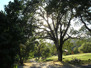 Photo: Yoga Farm, Grass Valley, CA - beautiful old oak trees