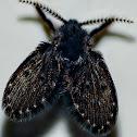 Drain Fly / Mosca-do-Banheiro