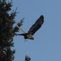 Harlan's Red-tailed Hawk