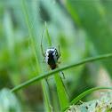 Frontinellina spider