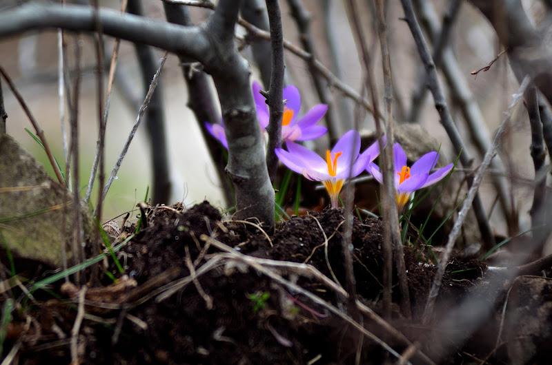 capolino della primavera di Apolide