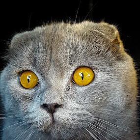Cat by Edu Marques - Animals - Cats Portraits ( gato, cats, cat, cat eyes, cat portrait, domestic cat )