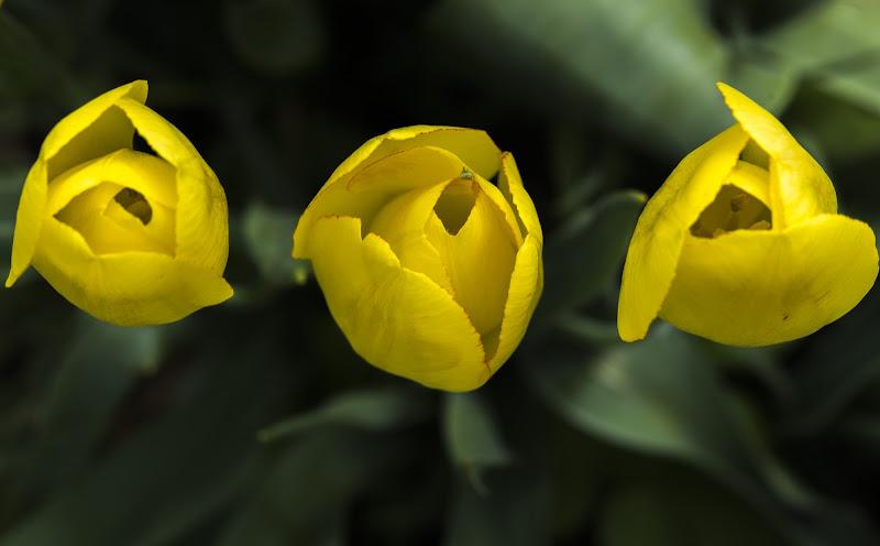 Tulipani gialli di PepCap
