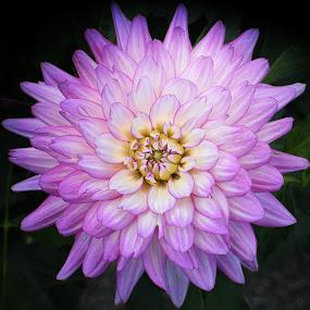 Dahlia Delight by Millieanne T - Flowers Single Flower