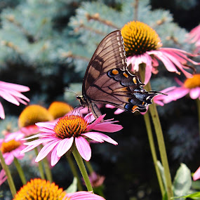 Pink daisies. by Peter DiMarco - Flowers Flower Gardens ( pink flower, butterfly, daisies, flowers, flower,  )