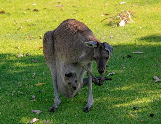 Western Grey Kangaroo di Morellato Marco