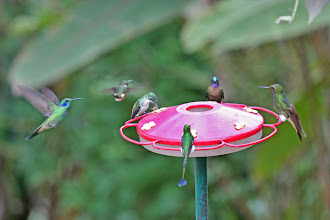 Photo: Green Violetear, Purple-throated Woodstar, Andean Emerald, Booted Racket-tail, Violet-tailed Sylph, and Buff-tailed Coronet