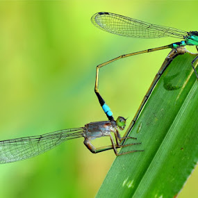 Just Married by Irfan Marindra - Animals Insects & Spiders ( bugs, damselflies, insect )