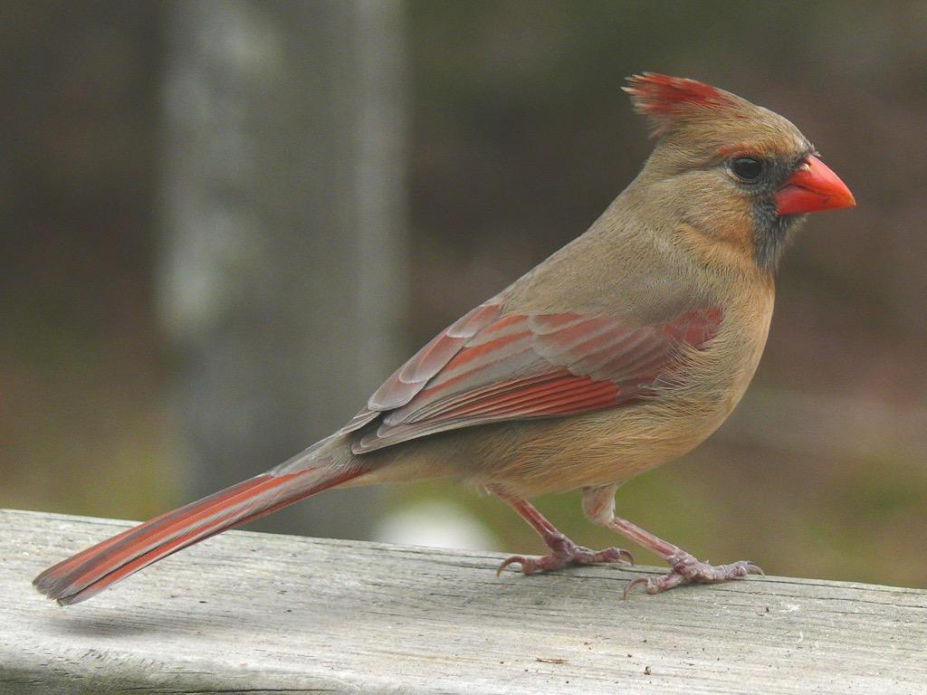 cardinal birds wallpapers android apps on google play