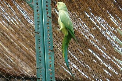 Вот этот попугай должен быть внутри клетки :)