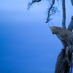 This is how I protect my food by Shreyas Kumar - Animals Lions, Tigers & Big Cats ( foodontree, sunset, hunt, masaimara, leopard,  )