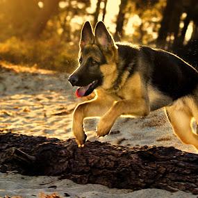 Baby Hope by Joseph Balson - Animals - Dogs Running ( play, beach, german shepherd, dog, jump, hope )