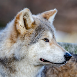 by Jon Harvey - Uncategorized All Uncategorized ( greenlawn, ironwood, december, animal, portrait, wolves,  )